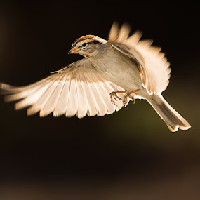 A Chipping Sparrow in-Flight by Ed Stines - Animals Birds ( feather, flight, nature, birds, doves, avian, wild birds, mourning doves, backyard birding, bird, backyard birds, chipping sparrow, bird feeder, wildlife,  )