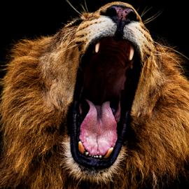 Wide open by Kusal Gautamadasa - Animals Lions, Tigers & Big Cats ( lion, wide open )