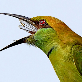 Bee-eater with Catch by Arindam Chakrabarty - Animals Birds ( colour, bird, colourful, nature, beauty, small,  )