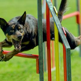 by Stane Gortnar - Animals - Dogs Running (  )