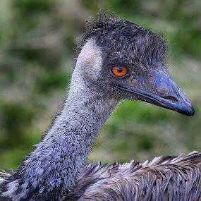 Emeu by Gérard CHATENET - Animals Birds