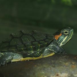 keur ngadangong by Dedi Sukardi - Animals Amphibians