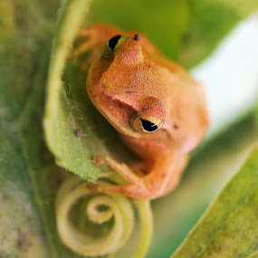 Hmmm... by Kenang Lahar Jingga - Animals Amphibians