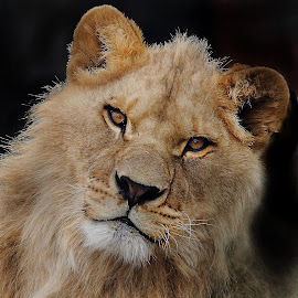 Mister Léo by Gérard CHATENET - Animals Lions, Tigers & Big Cats