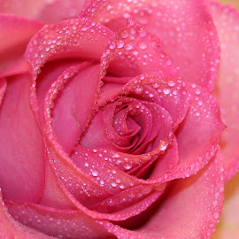 A Rose by Janet Herman - Flowers Single Flower ( floral, pink, rose, dewdrops, petals, flower )