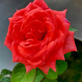 by Veli Toluay - Instagram & Mobile iPhone ( çiçek, yaz, gül, naturel, bahce, aşak, kırmızı, yeşil, güzellik, narin )