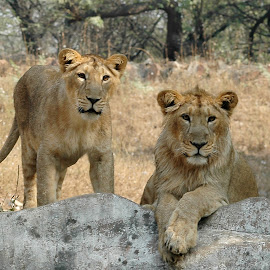 the king & the queen by Barun kumar Sinha - Animals Lions, Tigers & Big Cats