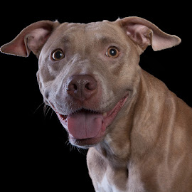 Phoenix by Ray Akey - Animals - Dogs Portraits ( expression, breed, happy, pitbull, mixed, brown, expressive, smiling, mix,  )