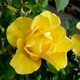 Yellow rose by Patrizia Emiliani - Flowers Flower Gardens ( rose, yellow,  )