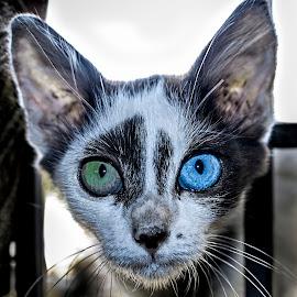 Threatening Eyes by Deva Vinoth - Animals - Cats Portraits