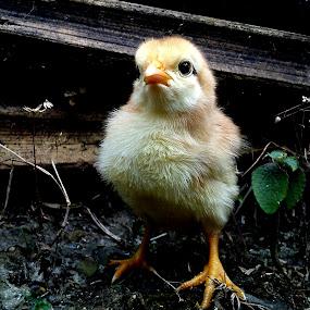 Little Chiken by Adnan Hidayat Prihastomo - Instagram & Mobile Other ( chick, chiken, little chiken )