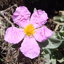 Grey-leaved cistus. Jara clara