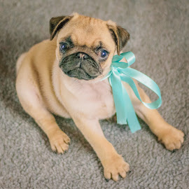 Puppy Pug by Matthew Gollop - Animals - Dogs Puppies ( happy, lebolo photography, puppy, dog photography, cute, dog, photo, pug )