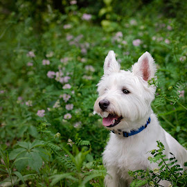 Fred in the Flowers by Jen St. Louis - Animals - Dogs Portraits ( flowers, small dog, west highland white terrier, portrait, white dog, dog, westie, west highland terrier,  )