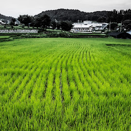Rice field by Iordan Daniel Teodorescu - Landscapes Prairies, Meadows & Fields ( farm, rice field, rice, landscape, korea )