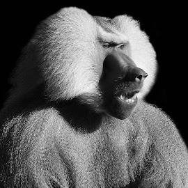 Papio hamadryas by Abbey Gatto - Black & White Animals