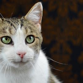 Jasper by Dan Justes - Animals - Cats Portraits