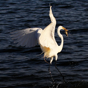 Great Egret fishing by Cristobal Garciaferro Rubio - Animals Birds ( garza, fish, great egre, fishing, egret )