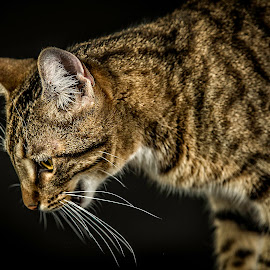 Hunting by Troy Wheatley - Animals - Cats Portraits ( cat, whiskers, tabby, portrait )