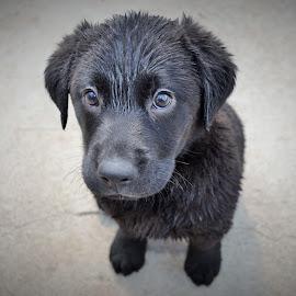 Black Labrador Puppy by Carl Birchenough - Animals - Dogs Puppies ( dry, drying, labrador, mammal, eyes, canine, sit, sitting, background, ears, fur, puppy, wet, dog, hair, black, animal )