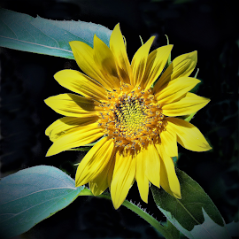 backyard sunflower by Mary Gallo - Flowers Single Flower ( backyard flower, nature, single flower, nature up close, sunflower, flower,  )