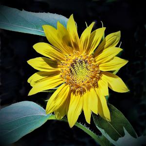 backyard sunflower (8)G.png