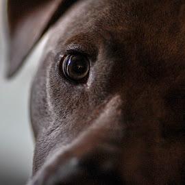 Mr. P-nut by Jak Conrad - Novices Only Pets ( puppy, pitbull, dof, portrait, dog, eyes, pet )