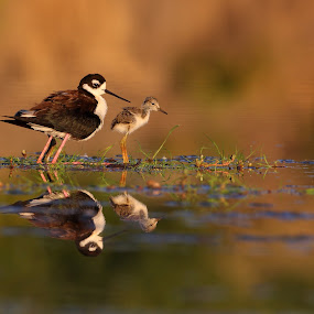 Me and my Peep by Ruth Jolly - Animals Birds ( bird, stilt, nature, baby bird, wildlife, shorebird, mom and baby bird, birding, baby, young, animal,  )