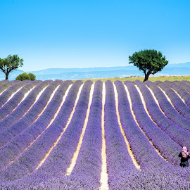 Lavender Fields in Provence by Loris Calzolari - Landscapes Prairies, Meadows & Fields ( provence, lavander blossom, lavander, france, travel photography )