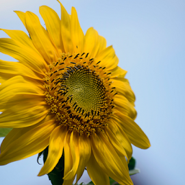 nice sunflower in the sunshine by LADOCKi Elvira - Flowers Single Flower ( floral, flowers, nature, sunshine, plants, garden, summer )