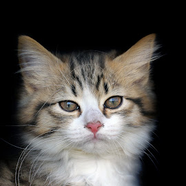 Missy by Lize Hill - Animals - Cats Kittens