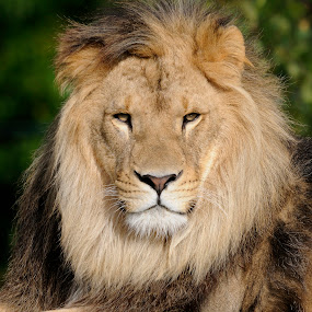 Male lion portrait by Fred van Maurik - Animals Lions, Tigers & Big Cats ( grassland, lion, felidae, cat, hilvarenbeek, panthera leo, african lion, savanna, male, bush, forest, beekse bergen, africa, netherlands )