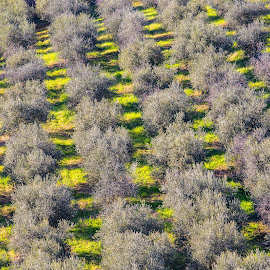 Olive trees by Pascal Hubert - Abstract Patterns
