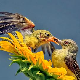 Anthreptes Malacensis by MazLoy Husada - Animals Birds