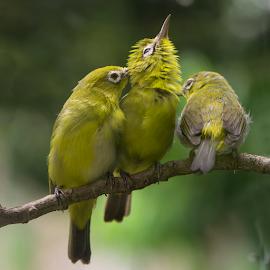 Burung Kacamata by Ajar Setiadi - Animals Birds