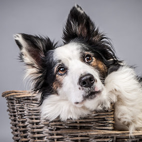 i am waiting for...the love of my life....... by 'Monique Smit - Animals - Dogs Portraits ( bordercollie dog, , #GARYFONGPETS, #SHOWUSYOURPETS )
