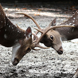 Deer by Paramasivam Tharumalingam - Animals Other Mammals (  )