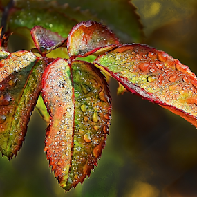 rose leaves by LADOCKi Elvira - Nature Up Close Leaves & Grasses (  )