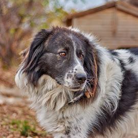 My dog . by An Mark - Animals - Dogs Portraits ( look, karakachanka, pets, dog )