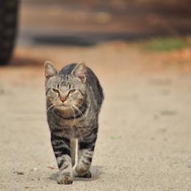 mr by Diana Orey - Animals - Cats Portraits ( daytime, cat, pet, sunny, feline, outside, animal )