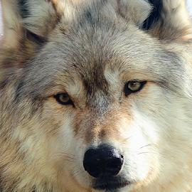 Wolf Portrait by Scott Block - Animals Other Mammals ( animals, minnesota, wildlife, wolves, international wolf center,  )