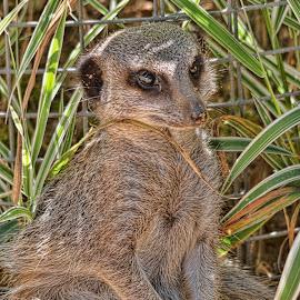 Meerkat by Tristan Wright - Animals Other Mammals ( pose, sand, outdoor, meerkat, animal )