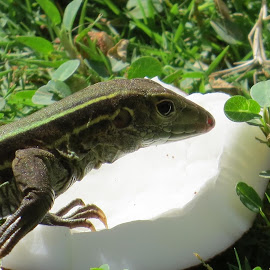 Hungry lizard by Karen Noble - Animals Reptiles