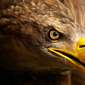 Eye of the Eagle by Friedhelm Peters - Animals Birds