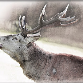 RED by Wayne Brown - Digital Art Animals ( glen, red, park, woolaton park, season, monarch, rutt, nottingham, bellow, deer )