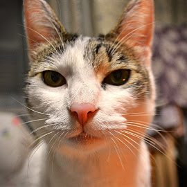 Yume Face by Bill      (THECREOS) Davis - Animals - Cats Portraits ( #cat #face #upclose #neko #kitty #whiskers #lightreflection,  )