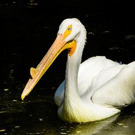 Pelican Swimming by Julie Wooden - Animals Fish ( partly cloudy, north dakota, wildlife, dakota zoo, pelican, water bird, swimming, bird, large bird, nature, bismarck, outdoors, summer )