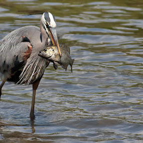 Great blue heron with huge snack by Rachel Bilodeau - Animals Birds