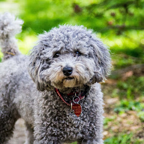 Silver Poodle by Janice Rimmer - Animals - Dogs Portraits ( dog portrait, silver poodle )