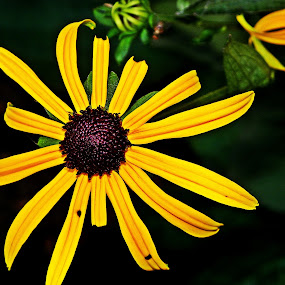 by Monika Norvaisaite - Novices Only Flowers & Plants ( up close, nature, summer, yellow, black, flower )